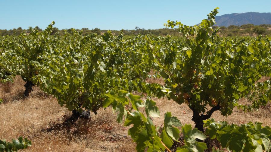 Carignan vines